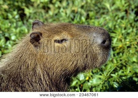Capybara - today the largest living