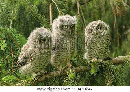 Three baby Screech Owls