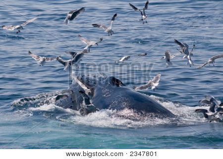 Humpback Whale Feeding Followed By Seagulls