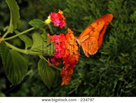 Julia Dryas Butterfly