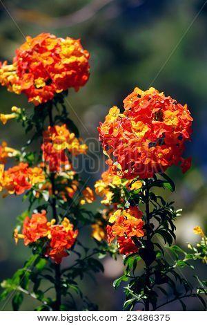 Flower orange of Thailand