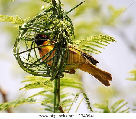 Speke weaver