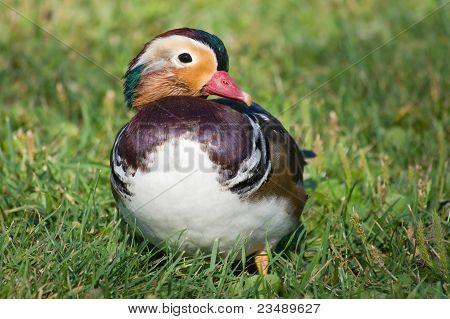 Mandarin duck in the grass
