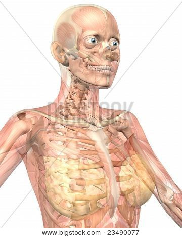Female Muscular Anatomy Semi Transparent Close Up View