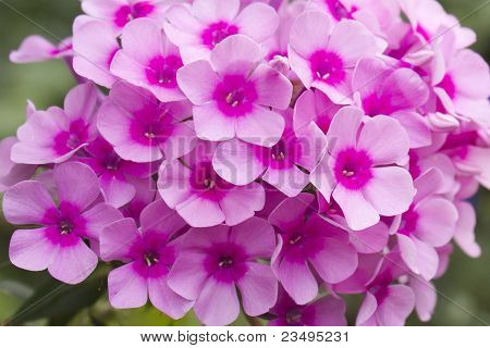Close-up of pink phlox