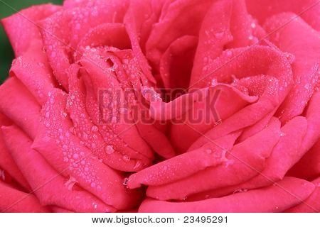 Close-up of red rose with water droplets