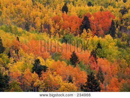 Multicolored Aspens