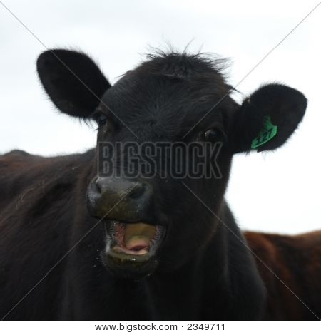 Laughing Cow Headshot