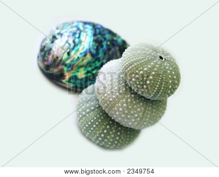 Seaeggs And Paua Shell