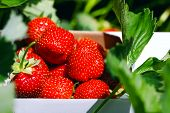 Appetizing And Delicious Beautiful Strawberries. Fresh Strawberries. Strawberry On Green Background. poster