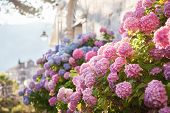 Hydrangea Is Pink, Blue, Lilac, Violet, Purple Flowers Are Blooming In Spring And Summer At Sunset I poster