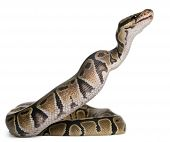 stock photo of python  - Python Royal python eating a mouse - JPG