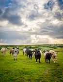 Cattle In Luscious Green Fields Of Peaceful English Countryside With Cloudy Bright Sky In Cornwall,  poster