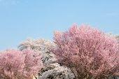 Somei Yoshino cherry blossom (back) and, Higan cherry (front) or rosebud cherry ( Prunus subhirtella poster