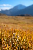 foto of edelweiss  - Autumn mountain meadow with edelweiss in the foreground - JPG