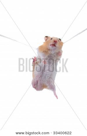 Hamster Hangs On A Rope