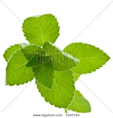 Corn Mint Isolated