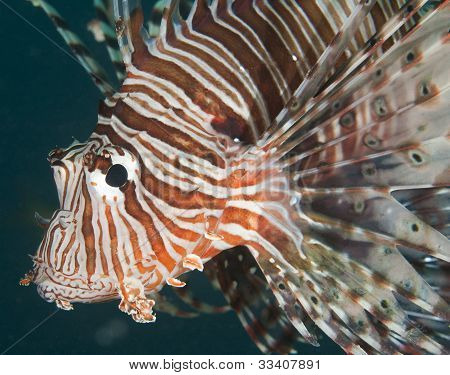 Closeup Detail Of Red Sea Lionfish