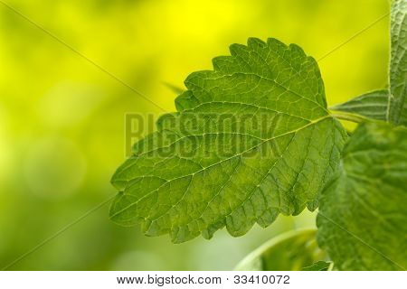 Fresh branch of spearmint, mint leaves , close up