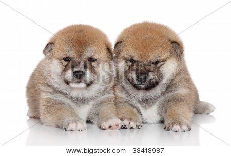 Shiba Inu Pupies