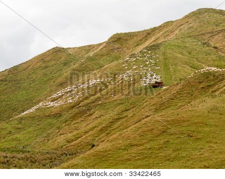 Large flock of herded sheep on a steep hillside