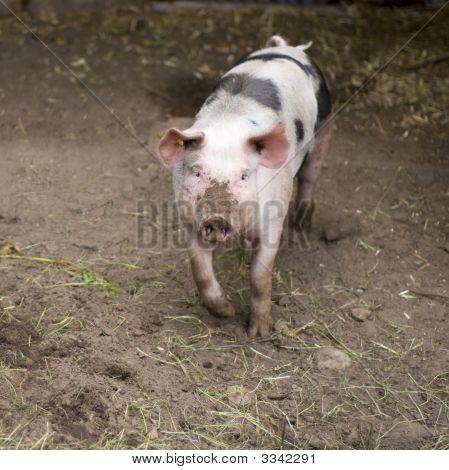 Natural Pig