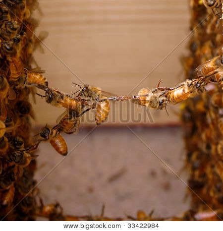 festooning honey bees