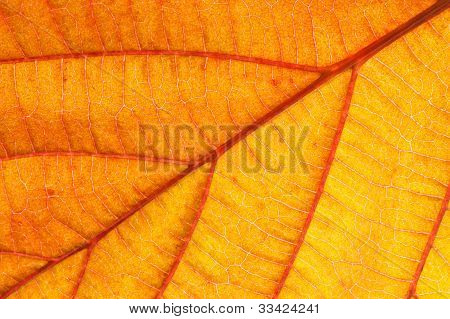 Orange Leaf Closeup