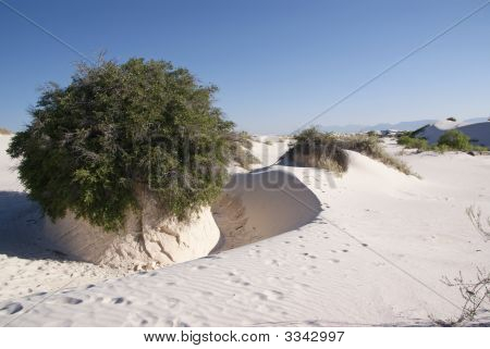 White Sand Desert Tree