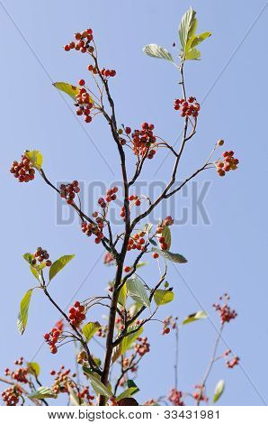 Common Whitebeam (Sorbus aria)