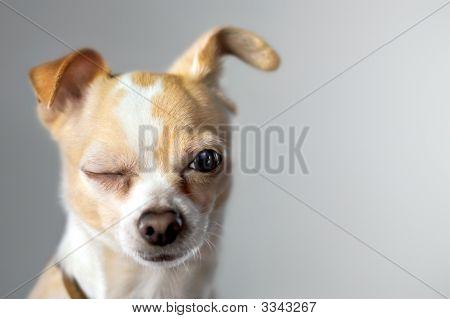 Piscadinha Chihuahua