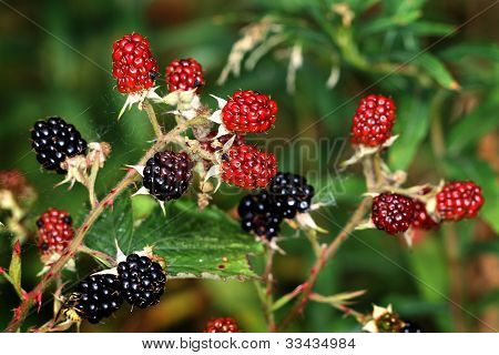 Wild Bramble fruit.