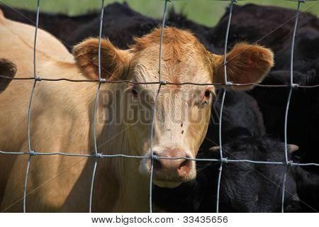 Fenced in heifer