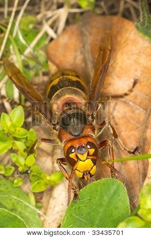 Extremely close-up of a live European Hornet (Vespa crabro)