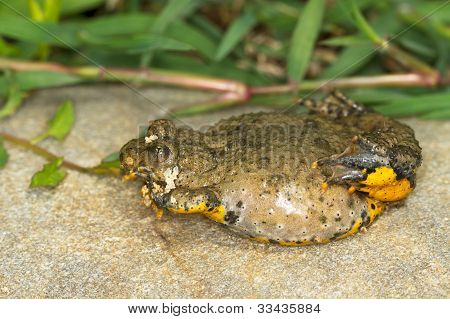 Yellow-Bellied Toad close-up / Bombina variegata