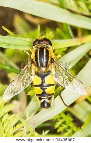 Syrphidae Europeo sobre hierba / Helophilus trivittatus