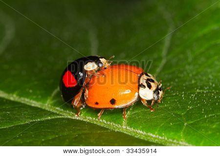 Harmonia axyridis ladybug mating
