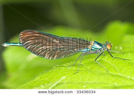 Calopteryx splendens / macro of Banded Demoiselle, male