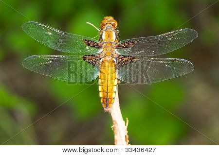 a female of Broad-bodied Chaser / Libellula depressa