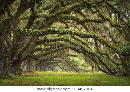 Oaks Avenue Charleston Sc Plantation Live Oak Trees Forest Landscape