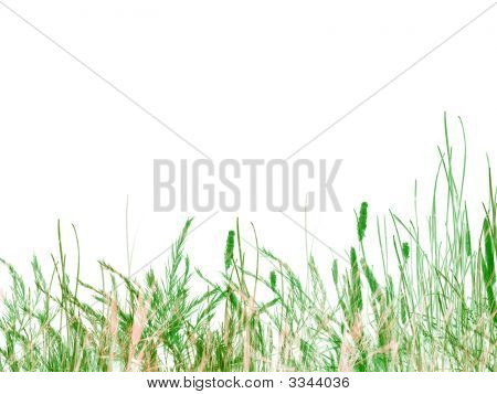 Green Grass And Reeds On White Background