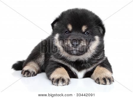 Shiba Inu Puppy (one Month) On White Background