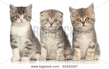 Group Of Scottish Kitten