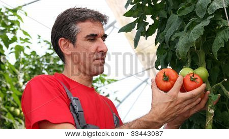 Worker Picking Tomatoes