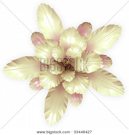 A Cream Echinopsis Cactus Flower Isolated On White