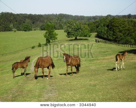 Brumbies in Mountainthyme-Eigenschaft.