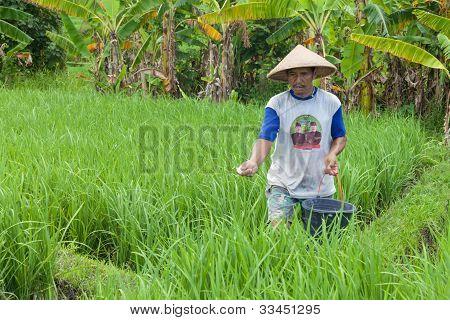 Agricultor de arroz em Bali