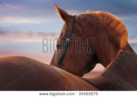 horse portrait at sunset