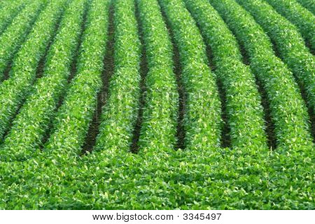 Rows Of Green Soybeans