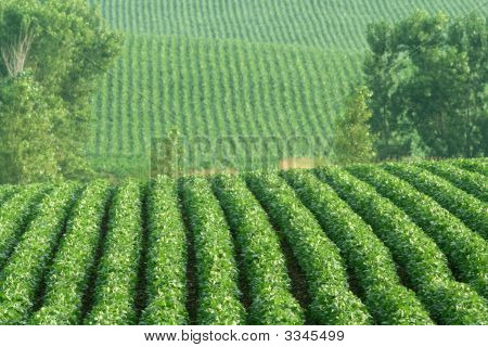 Rows Of Soybeans On Hillside